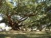 Heilige Bo-Bäume