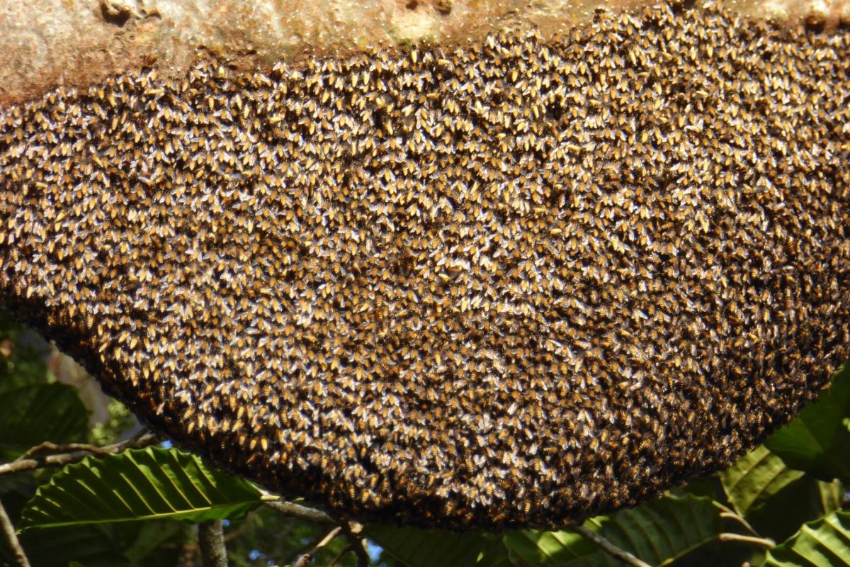 Honigbienennest