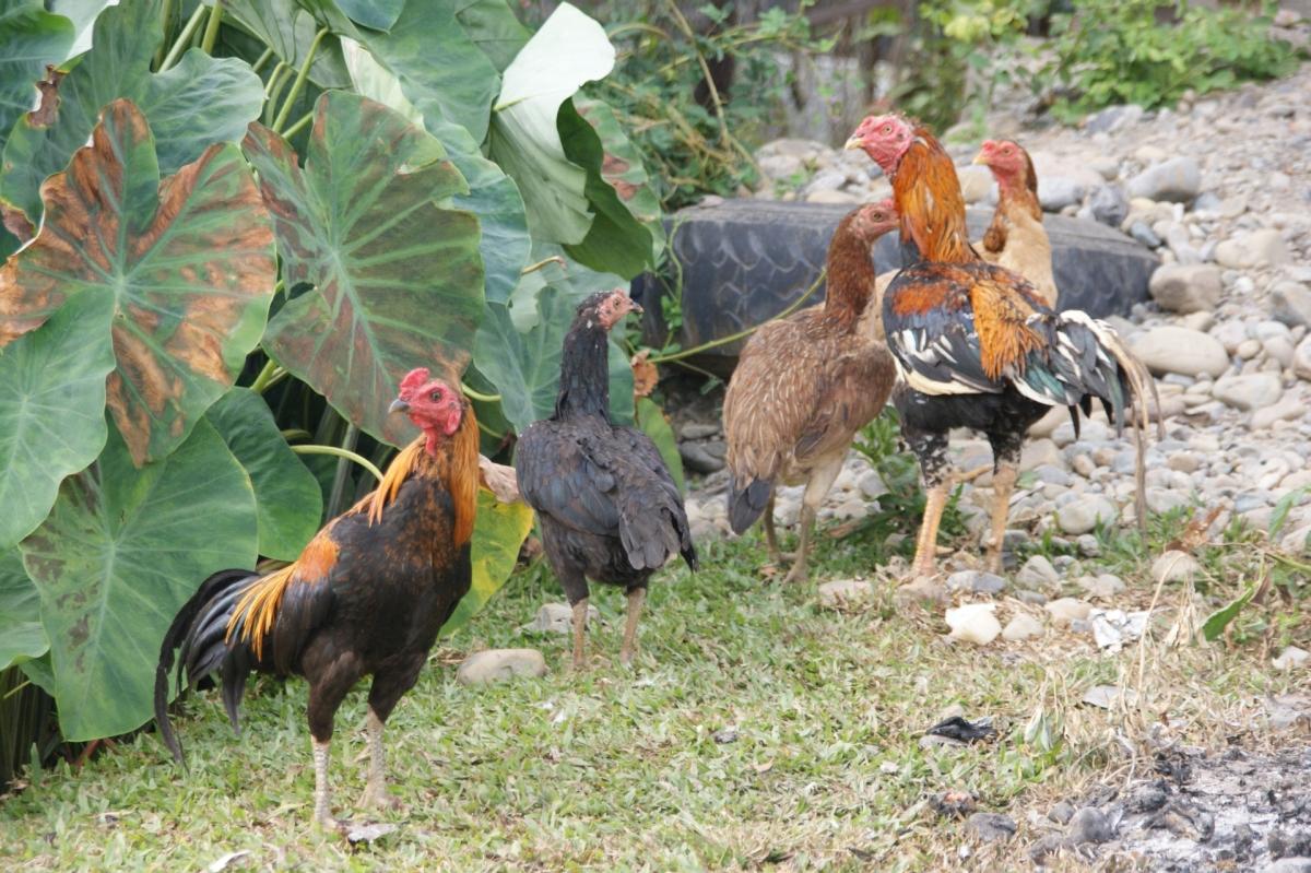 Ein Bauerndorf der Dusun