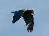 Papagei, neu im Vedado